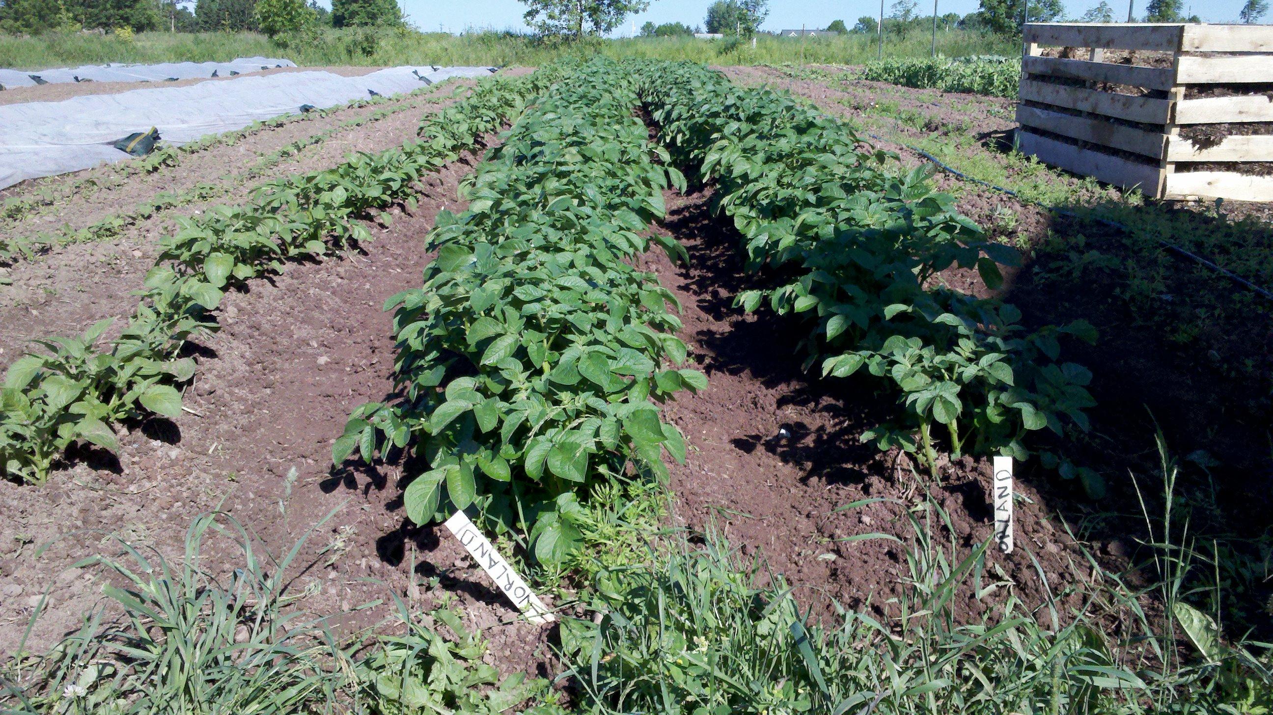 Rien de plus beau qu un rang de patate fra chement renchauss le jardin du village - Quand planter les patates ...